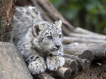 Giovane leopardo delle nevi, uncia di Uncia guardante i dintorni immagine stock