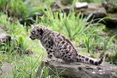 Giovane leopardo di neve Fotografia Stock Libera da Diritti
