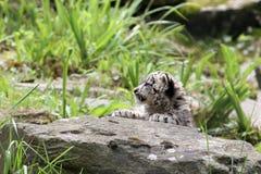 Giovane leopardo di neve Fotografie Stock Libere da Diritti