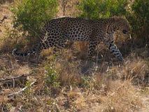 Giovane leopardo maschio Immagini Stock