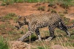 Giovane leopardo in un'area rocciosa nel parco nazionale di Serengeti fotografia stock libera da diritti