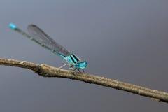 Giovane libellula blu-chiaro Immagine Stock Libera da Diritti
