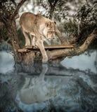 Giovane Lion Up su un albero dentro un lago, vedente la sua riflessione sopra Fotografie Stock Libere da Diritti
