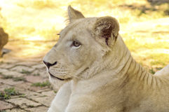 Giovane lioness bianco Fotografie Stock