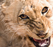 Giovane lioness che ringhia Fotografie Stock Libere da Diritti