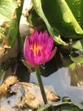 Giovane Lotus fotografia stock
