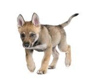 Giovane lupo europeo - lupus di lupus di Canis Fotografie Stock Libere da Diritti