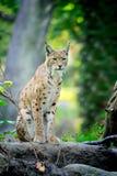 Giovane Lynx nel tempo di primavera Fotografia Stock