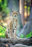 Giovane Lynx nel tempo di primavera Fotografia Stock Libera da Diritti
