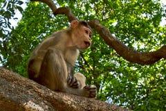 Giovane macaque di cofano che si siede su un albero Fotografia Stock