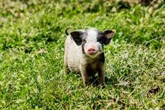 Giovane maiale divertente su un'erba verde della molla Fotografie Stock Libere da Diritti