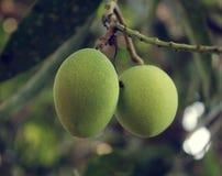 Giovane mango sull'albero Fotografia Stock Libera da Diritti