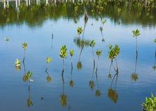 Giovane mangrovia Immagine Stock Libera da Diritti