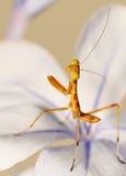 Giovane mantis curioso fotografia stock