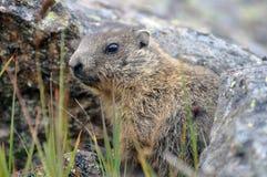 Giovane marmotta Fotografie Stock Libere da Diritti