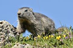 Giovane marmotta alpina Immagini Stock