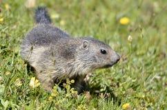 Giovane marmotta alpina in erba Fotografia Stock Libera da Diritti