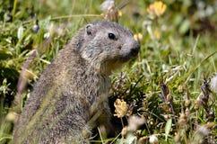 Giovane marmotta alpina in erba Fotografie Stock Libere da Diritti