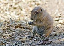 Giovane marmotta con coda nera Fotografie Stock Libere da Diritti