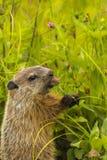 Giovane marmotta nordamericana che mangia trifoglio Fotografie Stock