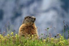 Giovane marmotta sul prato alpino Fotografia Stock Libera da Diritti