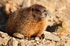 Giovane marmotta Yellow-bellied Immagine Stock