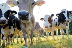 Giovane marrone e mucche del simmental fotografia stock libera da diritti