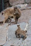 Giovane maschio caucasico orientale del tur sulla pietra Nome latino - cylindricornis che della capra il bambino del giro caucasi fotografie stock libere da diritti