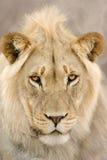 Giovane maschio del leone Fotografie Stock