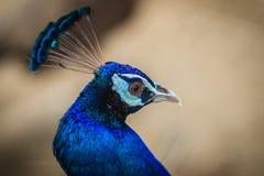 Giovane maschio del pavone con piume blu nell'azienda agricola di allevamento del pavone B Fotografia Stock Libera da Diritti