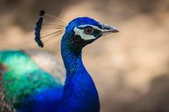 Giovane maschio del pavone con piume blu nell'azienda agricola di allevamento del pavone B Fotografia Stock