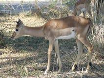 Giovane maschio dell'impala Fotografia Stock