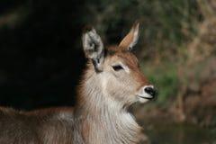 Giovane maschio di Waterbuck nel bushveld Immagini Stock