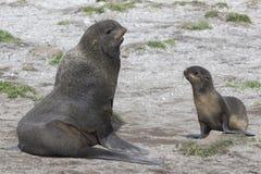 Giovane maschio e guarnizioni di pelliccia nordiche femminili sulla spiaggia Bering Isl Fotografia Stock