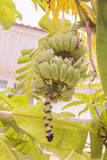 Giovane mazzo crudo della banana chiamato fotografia stock