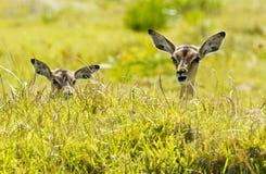 Giovane menzogne dell'impala nell'erba lunga Fotografia Stock