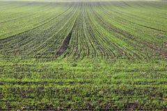 Giovane molla verde del giacimento di grano Fotografia Stock