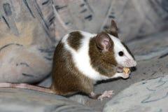 Giovane mouse Fotografie Stock