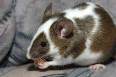 Giovane mouse Fotografie Stock Libere da Diritti