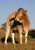 Giovane mucca Fotografia Stock
