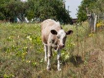 Giovane mucca Immagini Stock Libere da Diritti