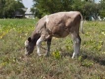 Giovane mucca Immagine Stock Libera da Diritti
