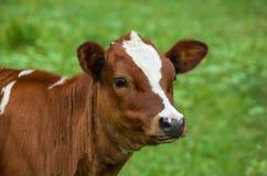 Giovane mucca che pasce su un prato verde Mastica l'erba Immagini Stock Libere da Diritti