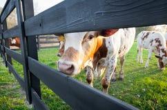 Giovane mucca curiosa fotografia stock libera da diritti
