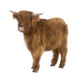 Giovane mucca dell'altopiano Immagini Stock Libere da Diritti
