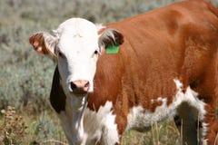 Giovane mucca di Hereford Fotografia Stock Libera da Diritti