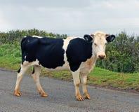 Giovane mucca nell'isola di pasqua Fotografia Stock Libera da Diritti