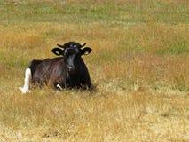 Giovane mucca nera che si trova e che riposa sul campo giallo immagini stock libere da diritti