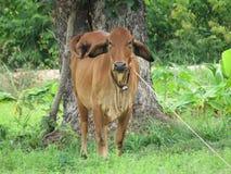Giovane mucca rossa su farmer& x27; azienda agricola di s Fotografia Stock