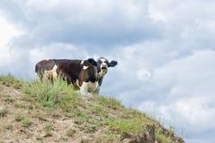 Giovane mucca su una collina. Fotografia Stock Libera da Diritti